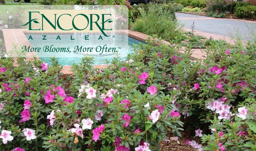 The Encore Azalea® Collection