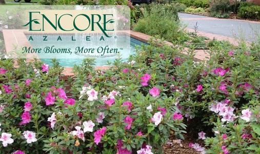 The Encore Azalea® Collection