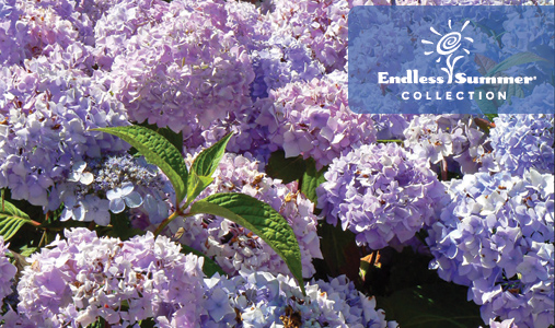 The Endless Summer® Hydrangeas