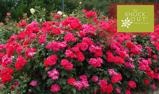 The Knock Out Rose® Family